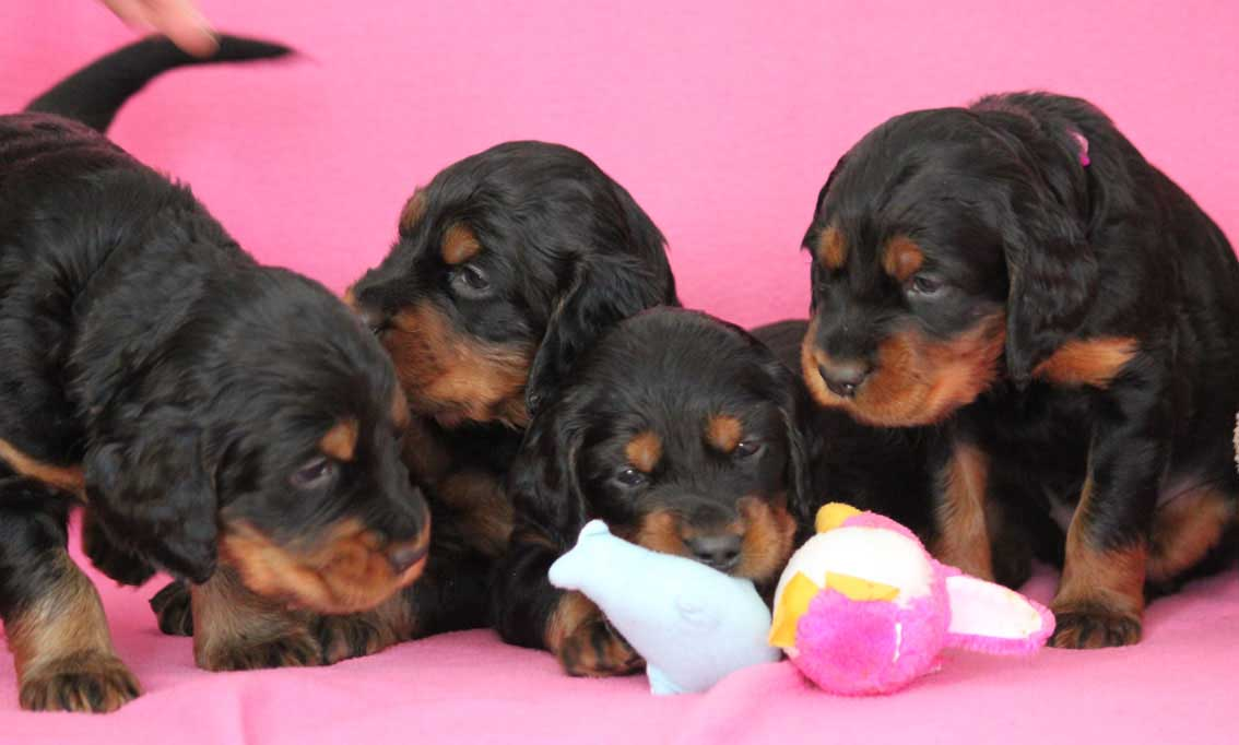 Nattaset Gordon SEtter puppies 2013